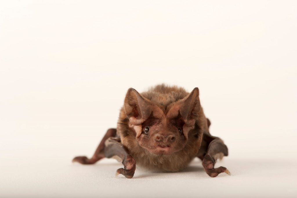 A critically endangered Florida bonneted bat (Eumops floridanus).