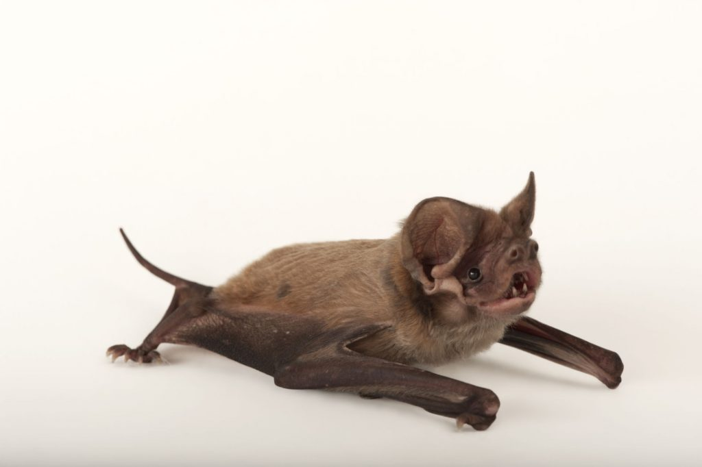 A Florida bonneted bat (Eumops floridanus).